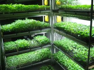 seedlings-kultur1