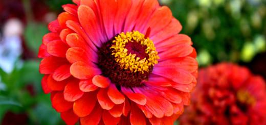 cveti-virachvat